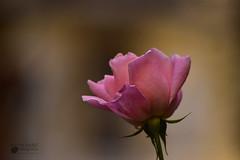 Una rosa. Museo Sorolla. Madrid. (marcus turkill) Tags: rosa rose madrid autumn otoño