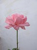Rosa (vincenzolerro) Tags: 13102016sonyt77fiori languageofflowers