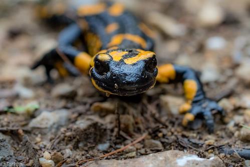 curious salamander