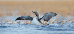 Spread your wings, Red-throated loon style (Chantal Jacques Photography) Tags: redthroated loon redthroatedloon spreadyourwings bokeh depthoffield barrow alaska wildandfree wild