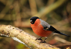 Bull finch at Pennington Flash (Cathal Phelan) Tags: bullfinch bull finch canon sigma uknature nature wildlife bird birds pennington penningtonflash ukwildlife cathal phelan cathalphelan