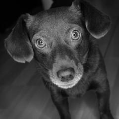 Matti (Martin_mmmm) Tags: dog mnster rawtherapee gimp bw ringlight sweet