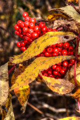 Mountain Ash Leaves and Berries (esywlkr) Tags: mountainash tree red yellow pisgah brp nc wnc blueridgeparkway nationalforest outdoors northcarolina