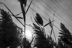 Reeds Sun (Aaron Allen Rogers Toronto) Tags: reeds nature black white monochrome rural flora fauna sky low angle sun light contrast shadow dark grey gray