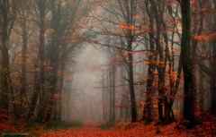 Forest atmosphere! (pat.thom974) Tags: forest fog trees atmosphere red