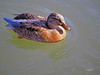 Hembras de ? (1) (eb3alfmiguel) Tags: aves acuaticas anade