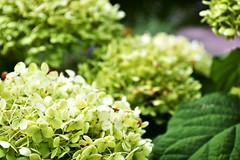 Hydrangeas, Pokagon State Park (svandagr) Tags: flowers floral wildflowers nature flora park trail hike pokagonstatepark indiana outdoor summer indianastateparks statepark flower