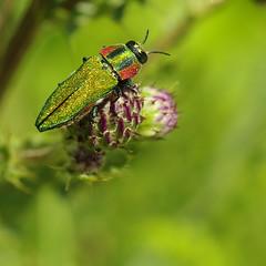 _IGP4013 (☆♺☆) Tags: u3z uzzz anthaxia hungarica buprestidae