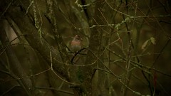 For the Record (J @BRX) Tags: adeldam goldenacrepark bramhope leeds yorkshire england uk november2016 autumn yorkshirewildlifetrust bird brambling green