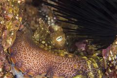octoNov11-16 (divindk) Tags: anacapa anacapaisland californiaunderwater camouflage channelislands channelislandsnationalpark octopus octopusbimaculoides sanmiguelisland santabarbara santacruzisland santarosaisland underwater ventura diverdoug eye hidinginahole marine ocean octo reef sea spines tentacles twospotoctopus underwaterphotography urchin
