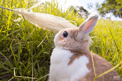 IMG_1657.jpg (ina070) Tags: animals canon6d cute grass outdoor outside pets rabbit rabbits
