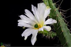 Echinocereus pentalophus v. procumbens f. albiflora (clement_peiffer) Tags: echinocereus pentalophus v procumbens f albiflora flowerscolors d7100 105mm nikon cactus fleurs flower cactaceae succulent peifferclement