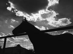 IMG_1663 (Shant Jackson) Tags: blackandwhite monochrome black white horse silhouette clouds noncamera phone iphone