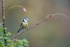 La canne à pêche (Jacques GUILLE) Tags: 09 ariège cyanistescaeruleus domainedesoiseaux eurasianbluetit mazères mésangebleue paridés passériformes bird oiseau
