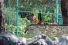Tiger (vevasilieva) Tags: тигр животные портрет