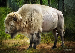 White Cloud 2 (mrbillt6) Tags: whitecloud northdakota jamestown nationalbuffalomuseum buffalo bison albino prairie greatplains outdoors animal