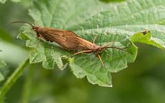 Mating Caddisflies - Sculthorpe Moor Norfolk (magpie280168) Tags: norfolk sculthorpemoor caddisfly