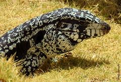 Sbado-animal (sonia furtado) Tags: sbadoanimal animal rptil lagarto tei soniafurtado frenteafrente