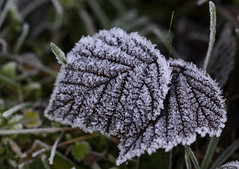 it is getting colder (bugman11) Tags: leaves leaf flora autumn nature ice macro canon 100mm28lmacro nederland thenetherlands 1001nights 1001nightsmagiccity thegalaxy platinumheartaward