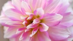 parfum de sduction (christophe.laigle) Tags: rose fleur macro pink sduction fuji xf60mm xpro2 dahlia flower