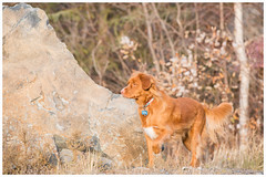 web0368 (Pat Tapper) Tags: dog pointing nova scotia duck toller