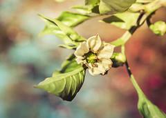 Pepper flower (Chlo +++) Tags: pepper poivron flower fleur plant plante blanc white green vert nature autumn automne november novembre bokeh canon os400d profondeur orange macro magic magie