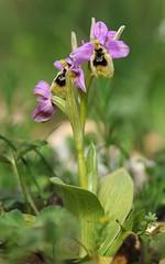 20160322-174F (m-klueber.de) Tags: 20160322174f 20160322 2016 mkbildkatalog griechenland ionische inseln zakynthos sdeuropische mediterrane ostmediterrane flora orchidee orchidaceae ophulys ophrys tenthredinifera sl subsp ssp ulyssea odysseusragwurz odysseus ragwurz wespenragwurz