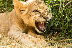 Portrait of lion cub (korzun) Tags: aggressive angry animal attack attacker attacking baby bigears closeup cub face lion lionet little mammal nice portrait predator russia small sweet taigan wild wildlife young zoo