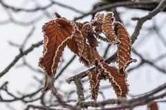 Frosty (Lens Daemmi) Tags: frosty leaves ice crystals