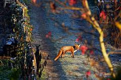 Fox in the frost covered allotments under the morning sun (Ergin Yildizoglu) Tags: nature fox frost allotments sun winter morning tilki bostan k kra london londra doa sabah renard soleil matin hiver givr jardin xt1 55200