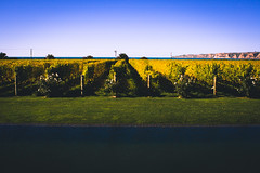 What a view (watchthewrld) Tags: horizon colours nature water newzealand winery sony tones sun blue hawkesbay warm travel grapes ocean wine sky morning a6000 beach napier perspective