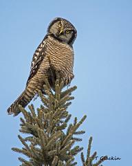 Northern Hawk Owl (TimmyGs Photos) Tags: