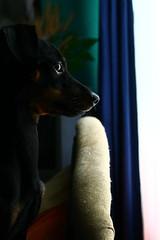 IMG_1041 (elBompy) Tags: nice foto forlife life forlive pet dog pinscher mypet mydog photo eyes elder colombia day