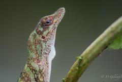 _ECA6745 (Guldenfels-photos) Tags: frog ecuador equateur serpent lezard lizard grenouille verte green yellow nikon d800 macro tropical blue i am