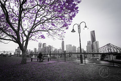 Wilsons Lookout in all it's purple glory!!!! (Lisa Hawkins Photography) Tags: brisbane city jacaranda queensland australia canon 6d story bridge purple black white selective colour explore