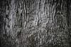 Jequitibá (Gabriel Castaldini) Tags: árvore tree huge parque park ecologia bioma nature natureza naturelovers mataatlântica cerrado floresta jungle arbre ecologie green verde preservação meioambiente environment environnement développementdurable desenvolvimentosustentável sustentável sustainability natura naturaleza medioambiente sostenibilidad vassununga sp santarita santaritadopassaquatro interior sãopaulo rodoviaangangüera wood tronco textura madeira abstrato paisagem