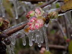 Viburnum (piranhabros) Tags: ice icy frozen coated viburnum buds icestorm