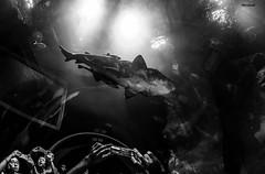 AquaRio - Aquário Marinho do Rio de Janeiro (mariohowat) Tags: fisheye samyang8mm samyang olhodepeixe aquario pb bw pretoebranco blackandwhite blancoynegro monochrome riodejaneiro brasil brazil