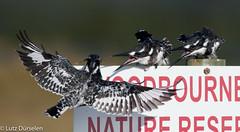 Pied Kingfisher (Lutz Dürselen) Tags: graufischer ibc südafrika vogel bird kingfisher knysna