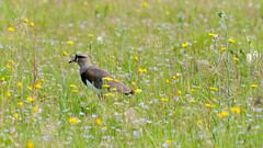 bird in the field (Rafael Nemetz) Tags: brazil bird botnico porto jardim alegre bentivi