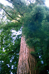 "Coast Redwood towering above • <a style=""font-size:0.8em;"" href=""http://www.flickr.com/photos/34843984@N07/14926282213/"" target=""_blank"">View on Flickr</a>"