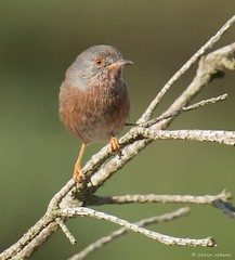 Dartford Warbler (KHR Images) Tags: wild bird nature suffolk nikon wildlife heath dunwich sylviaundata dartfordwarbler sylviidae d7100 8004000mmf4556 kevinrobson khrimages
