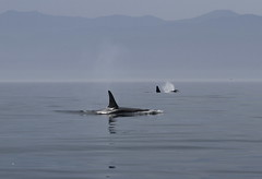 Two orcas surfacing (Paul Cottis) Tags: canada dolphin 14 vancouverisland orca killerwhale juandefucastrait paulcottis