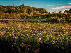 PhoTones Works #5915 (TAKUMA KIMURA) Tags: field japan landscape scenery natural farm fields 日本 自然 風景 okayama kimura em1 景色 畑 岡山 takuma 琢磨 田 木村 農園 photones