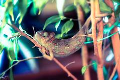 Хамелеон (chengizz) Tags: chamelion хамелеон йемен леона хама йеменский