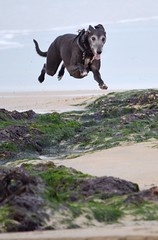 Dogs Can Fly ! (SnapperDave) Tags: dog beach sand nikon cornwall running lurcher d3200