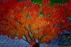 OTOO - 5 (Ismael I) Tags: color hojas rojo arboles colores otoo naranja