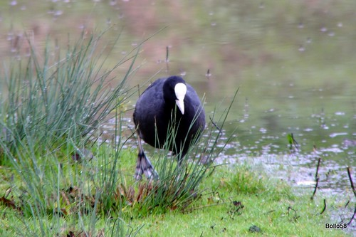 Coot - WWT Slimbridge