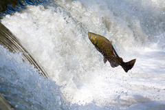 Salmon (josullivan.59) Tags: travel wallpaper fish toronto ontario canada abstract fall nature day salmon etobicoke oldmill humber 3exp canon6d