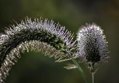 Morning Dew on Foxtail (zuni48) Tags: macro closeup dewdrops weed bokeh foliage dew waterdrops spikes foxtail waterbeads shallowdof flowersandplants spikelet foxtailgrass ruby10 zunikoff